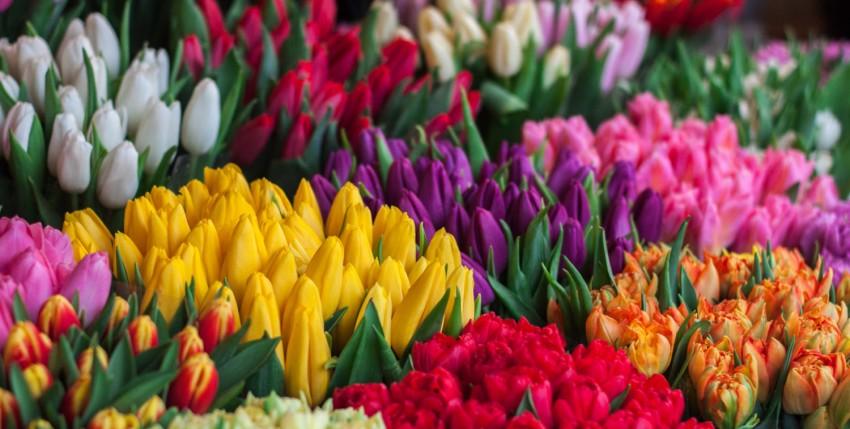 Festival del tulipán en Holanda